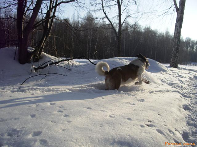Рыжики бороздят мартовский снег